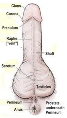 diagram of male genitalia