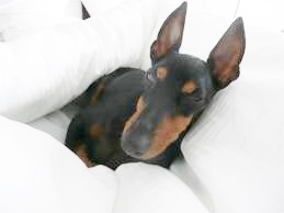 photo of a dog in master's bed