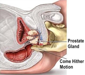 diagram of how to find the prostate gland